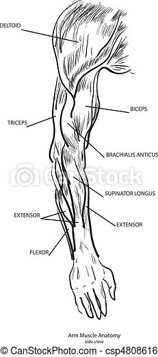 Arm Muscle Anatomy - csp4808616