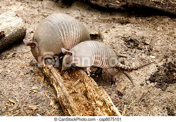 Armadillo Mother and Baby - csp8075101