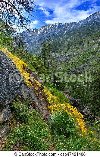 Arnica or Arrowleaf Balsamroot flowers in mountains. - csp47421408