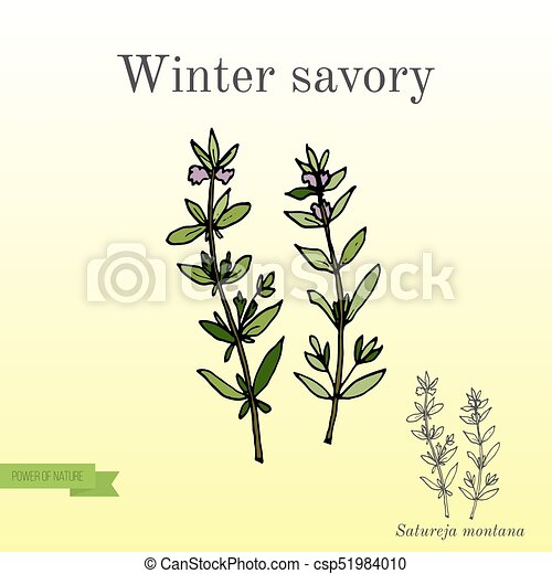 Aromatic herb winter savory - csp51984010