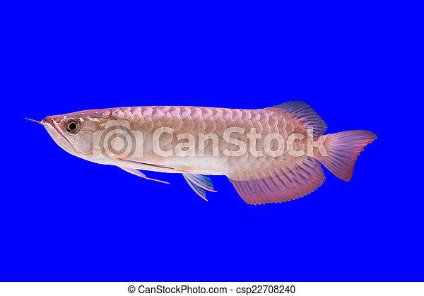 Arowana Fish | Arowana Fish Stock Photo Search Photographs And Clipart Photos