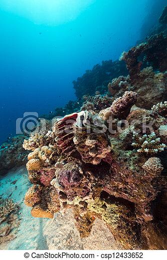 Almeja gigante y arrecife tropical en el Mar Rojo. - csp12433652