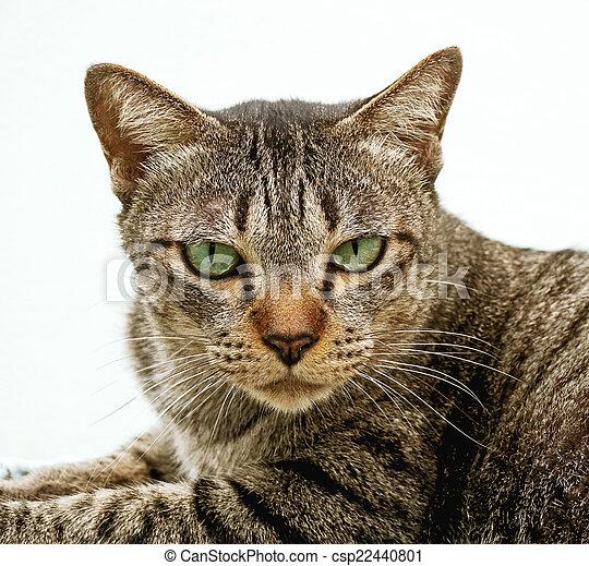 Retrato cerrado de gato aislado en fondo blanco - csp22440801