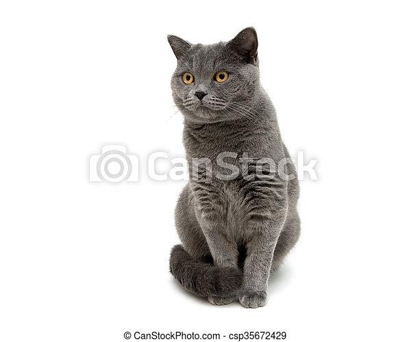 Gato gris aislado en fondo blanco cerca. - csp35672429
