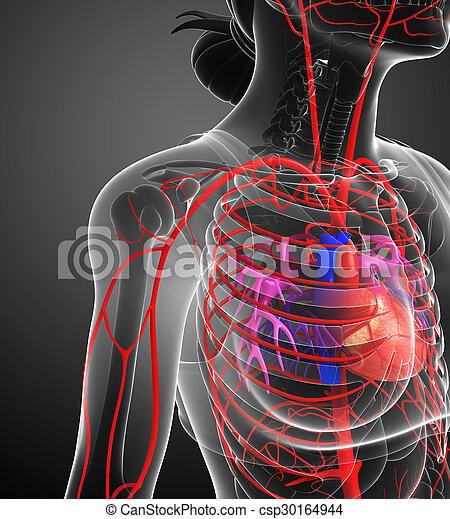 Arteriell, system, weibliche . Arteriell, geleistet, system ...