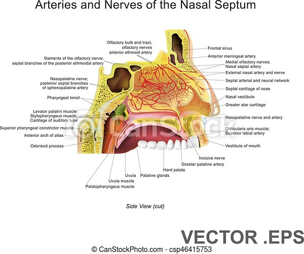 Arteries and Nerves of the Nasal Septum - csp46415753