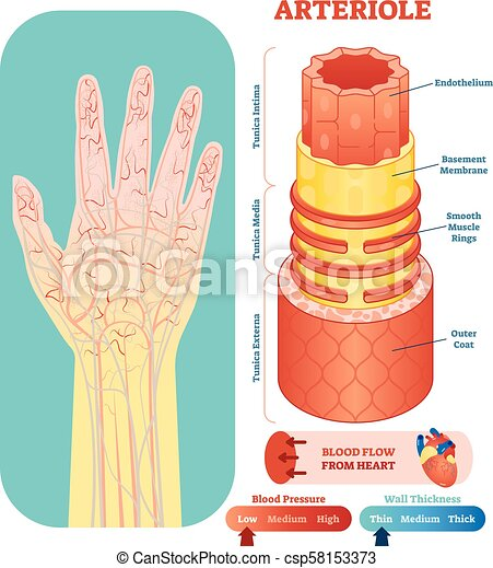 arteriole anatomical vector illustration image_csp58153373 arteriole anatomical vector illustration cross section circulatory