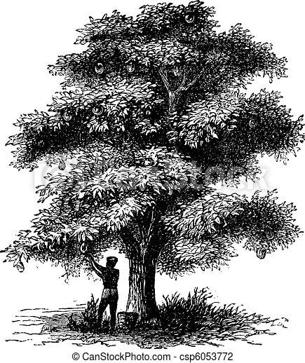 Artocarpe, Breadfruit or Artocarpus altilis old engraving. - csp6053772