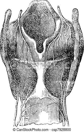 Arytenoid cartilage, vintage engraving. - csp7928800