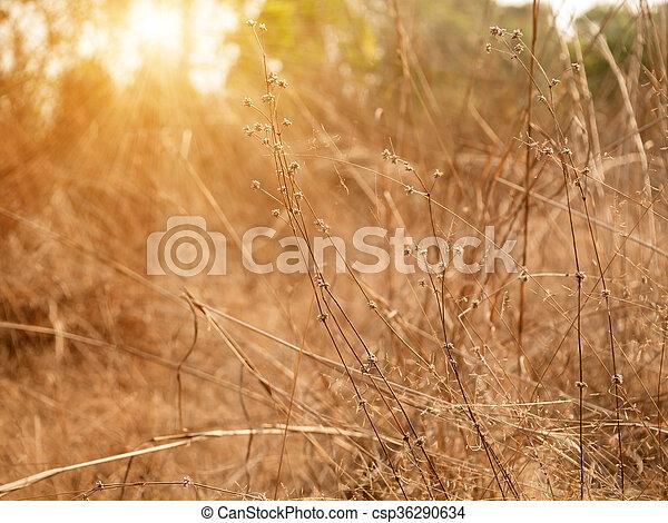 asciutto, estate, primo piano, erba, sun. - csp36290634