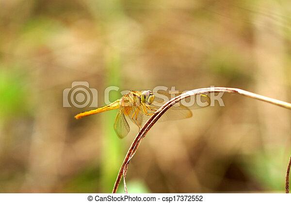 asciutto, libellula, erba - csp17372552
