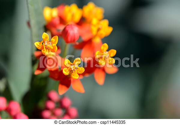 Asclepias curassavica. (Red Butterfly) - csp11445335