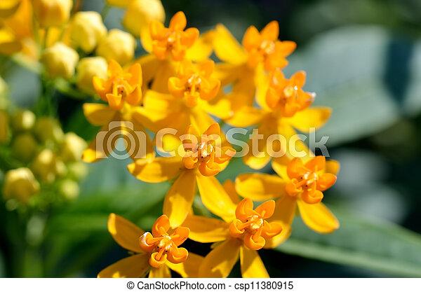 Asclepias curassavica. (Silky Gold) - csp11380915