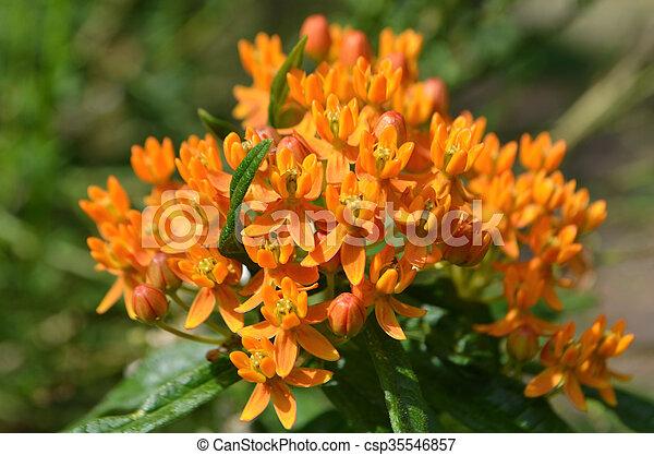 Asclepias tuberosa flower - csp35546857