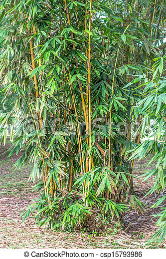 Asian bamboo - csp15793986