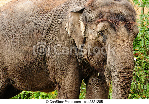 Asian elephant closeup - csp2821285