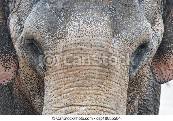 Asian Elephant Front Portrait - csp18085584