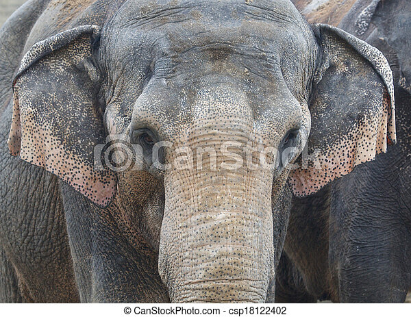 Asian Elephant Front Portrait - csp18122402
