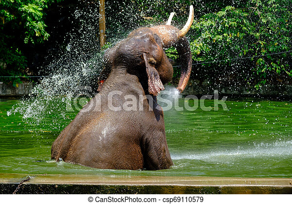 Asian elephant splashing with water while taking a bath - csp69110579