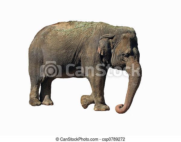 Asian Elephant - csp0789272