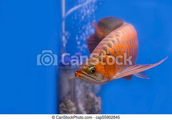 Asian red arowana fish swims in a fish tank. - csp55902845