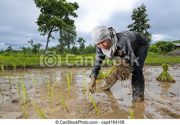 asian woman growing rice - csp4184108