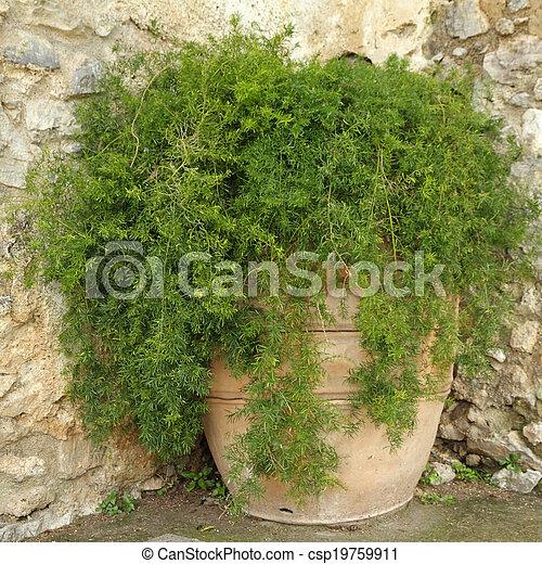 asparagus fern in terracotta planter on italian backyard - csp19759911