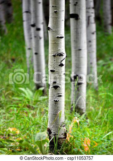 Aspen Birch Trees in Summer - csp11053757