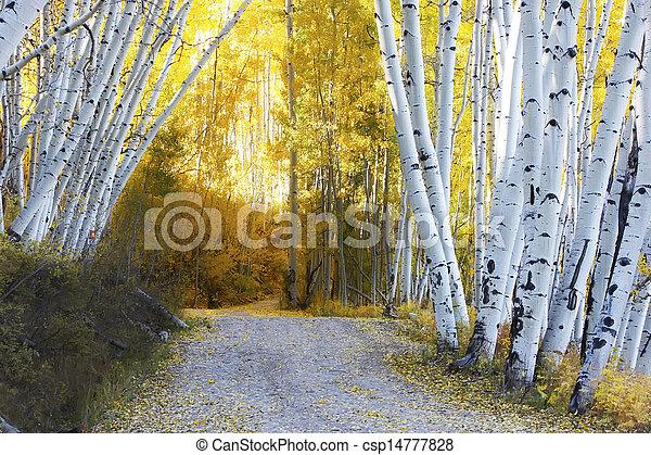 Aspen forest in a fall, Colorado - csp14777828