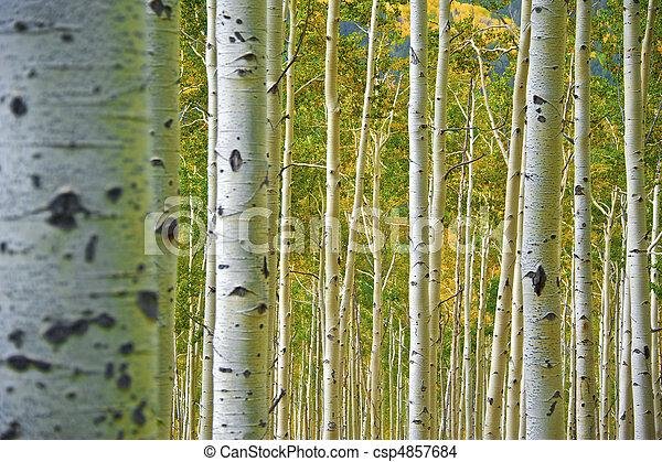 Aspen Forest - csp4857684
