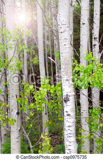 Aspen grove - csp0975735