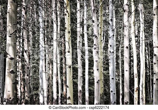 Aspen tree trunks - csp6222174