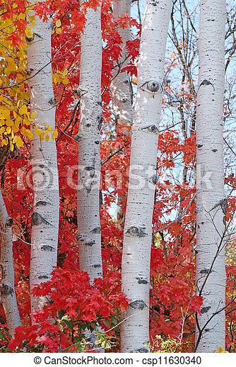 Aspen Trees in Autumn - csp11630340