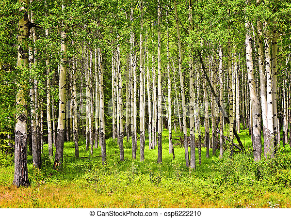 Aspen trees in Banff National park - csp6222210