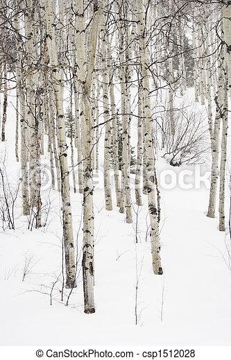 Aspen trees in winter. - csp1512028