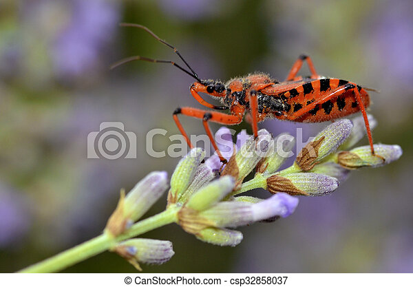 Assassin bug on lavender - csp32858037
