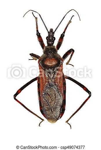 Assassin Bug Rhynocoris on white Background  -  Rhynocoris iracundus  (Poda, 1761) - csp49074377