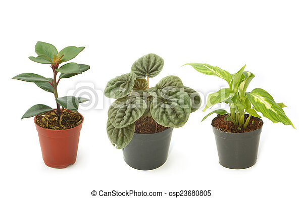 Assorted green houseplants in pots ,Ornamental plants - csp23680805