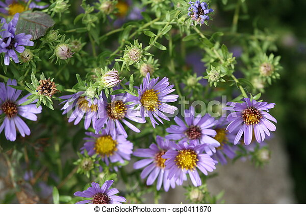 asters - csp0411670