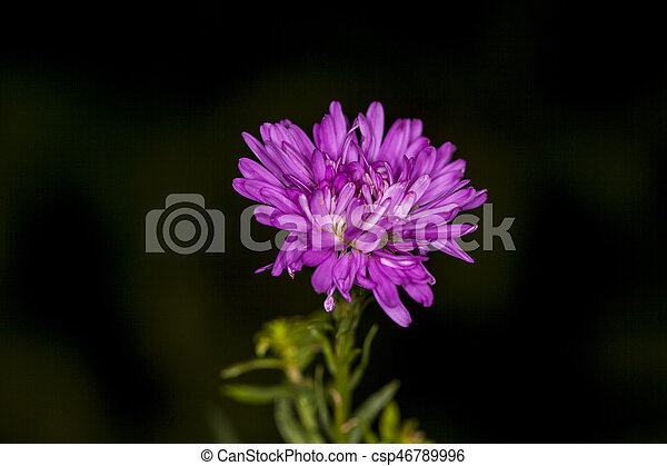 asters - csp46789996