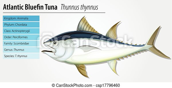 Atlantic bluefin tuna - csp17796460