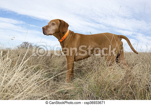attentive hunting dog standing in field - csp36933671