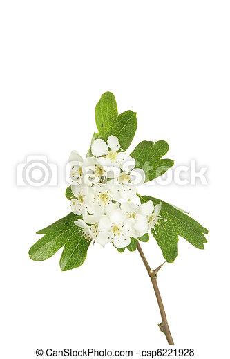 aubépine, fleurs - csp6221928