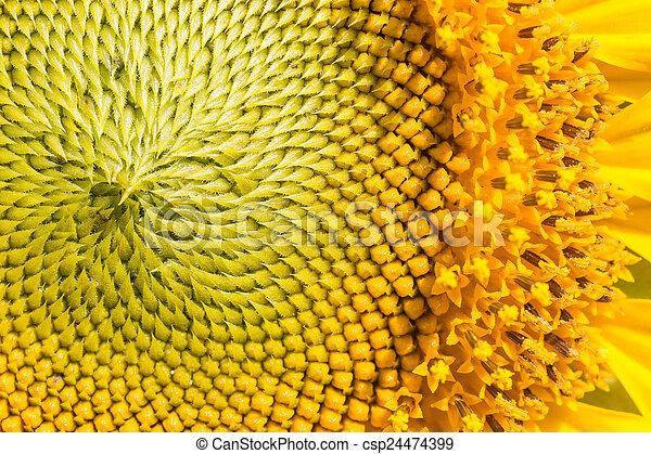 aufschließen, sonnenblume - csp24474399
