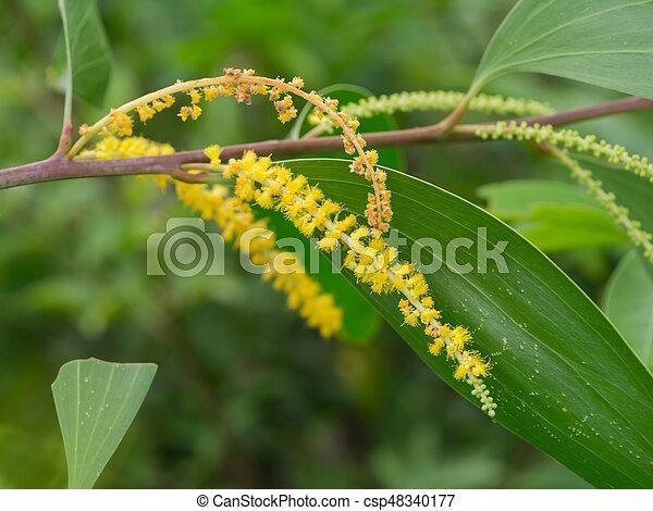 Auri earleaf acacia flower yellow flower of auri earleaf acacia yellow flower of auri earleaf acacia earpod wattle northern black wattle papuan wattle tan wattle tree mightylinksfo