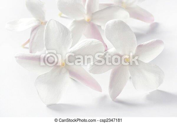 Aus, blumen, jasmin, weißer hintergrund. Aus, jasmin, hoch ...