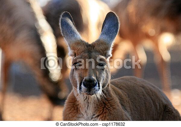 austrália, canguru vermelho - csp1178632