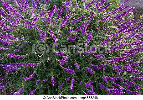 Struiken Met Bloemen Voor In De Tuin.Australie Mexicaanse Tuin Paarse Salie Struik Tasmanie Schaduw Bloemen