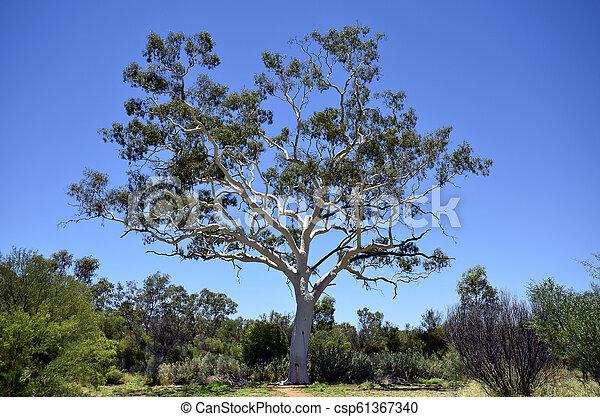 australia, eukalyptus, botanik - csp61367340