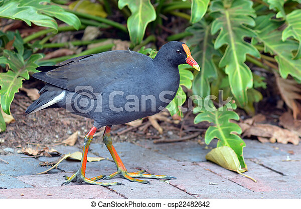 Asian purple swamphen